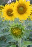 Yellow sunflower. Green sunflower nature yellow beautiful Royalty Free Stock Images