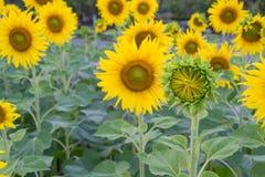 Yellow sunflower. Green sunflower nature yellow beautiful Stock Images