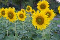 Yellow sunflower. Green sunflower nature yellow beautiful Stock Photo