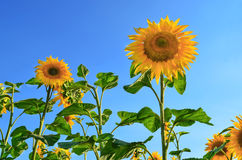 Yellow sunflower head against a blue sky Royalty Free Stock Photo