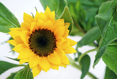 Yellow sunflower - helios stock image