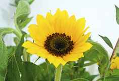 Yellow sunflower - helios stock photos