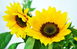 Yellow sunflower - helios Royalty Free Stock Images