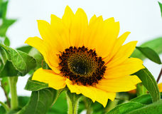 Yellow sunflower - helios royalty free stock photo