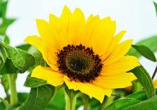 Yellow sunflower - helios Royalty Free Stock Photo