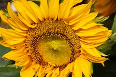 Yellow sunflower. Huge yellow sunflower on a blurred background Royalty Free Stock Image
