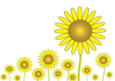 The yellow sunflower. Illustrated on the white background Royalty Free Stock Photography