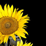 Yellow Sunflower Isolated Royalty Free Stock Images