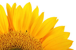 Yellow sunflower isolated over white Royalty Free Stock Images