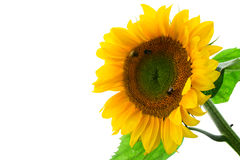 Yellow sunflower isolated on white Stock Photo