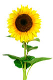 Yellow sunflower isolated on white background Royalty Free Stock Photo