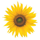 Yellow Sunflower isolated on white background Stock Images