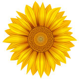 Yellow sunflower. Isolated on white background. Vector illustration Stock Images