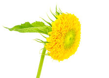 Yellow sunflower with leaf isolated on white Royalty Free Stock Photography