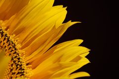 Yellow sunflower leaves on a black background with copy empty space Royalty Free Stock Photography