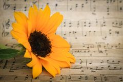 Yellow Sunflower with leaves resting on vintage sheet music stock images