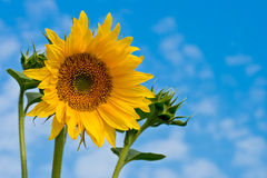 Yellow sunflower and lue sky Stock Images