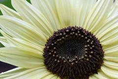 Yellow sunflower macro on blurred background. Yellow sunflower macro on green background Stock Photos