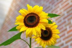 Yellow Sunflower Macro Photographyt Stock Image