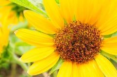 Yellow Sunflower In Macro View. Yellow Blooming Sunflower In Close Up Macro View Royalty Free Stock Photo