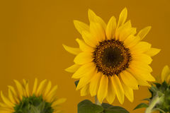 Yellow sunflower on orange background Royalty Free Stock Photos
