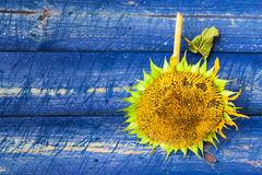 Yellow sunflower painted fence Royalty Free Stock Photography