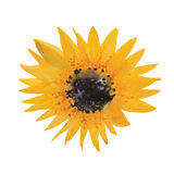 Yellow sunflower. Painted in watercolor, vector Royalty Free Stock Photos