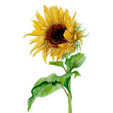 Yellow sunflower painted in watercolor on a white background Stock Images