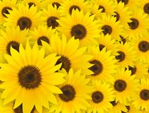 Yellow sunflower pattern background, summer royalty free stock photography