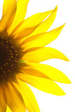 Yellow Sunflower petals Royalty Free Stock Photo