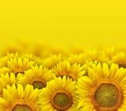 Yellow sunflower petals Stock Photos