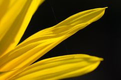 Yellow Sunflower Petals Against a Dark Green Background Stock Images