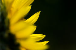 Yellow Sunflower Petals Against a Dark Green Background Royalty Free Stock Photography