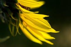 Yellow Sunflower Petals Against a Dark Green Background. Close Look at Yellow Sunflower Petals Against a Dark Green Background Stock Photos