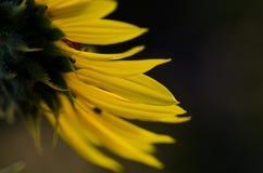 Yellow Sunflower Petals Against a Dark Green Background. Close Look at Yellow Sunflower Petals Against a Dark Green Background Stock Images