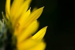 Yellow Sunflower Petals Against a Dark Green Background. Close Look at Yellow Sunflower Petals Against a Dark Green Background Stock Photography