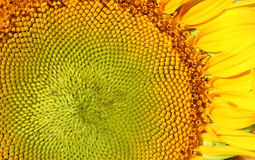 Yellow sunflower with petals Royalty Free Stock Photos