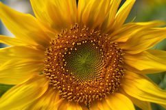 Yellow sunflower photographed close up. Yellow flower of sunflower closeup shot from above Stock Photography