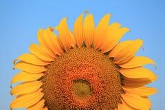 Yellow sunflower on plant Stock Photos