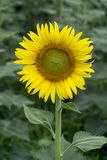 Yellow sunflower on plant Royalty Free Stock Photo
