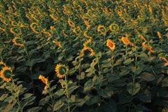 Yellow sunflower on plant Stock Photo