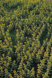 Yellow sunflower on plant Stock Photography