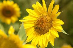 Yellow sunflower is pollinated by bees Royalty Free Stock Image