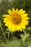 Yellow sunflower is pollinated by bees Stock Photo