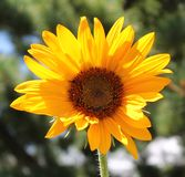 Yellow Sunflower. Such a beauty Royalty Free Stock Photography