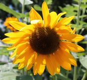 Yellow Sunflower. Such a beauty Royalty Free Stock Image