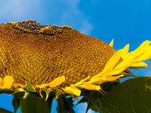 Yellow sunflower summer blue sky bee nature closeup Stock Images