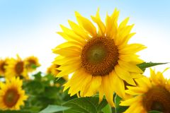 Yellow sunflower in summer field. Closeup royalty free stock image