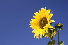 Yellow sunflower on a sunny day. Royalty Free Stock Photography