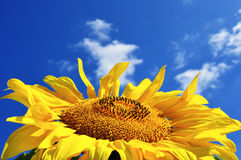 Yellow sunflower in sunny day Stock Image
